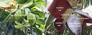How Do Banana Flowers Develop   U00b7 Frontiers For Young Minds