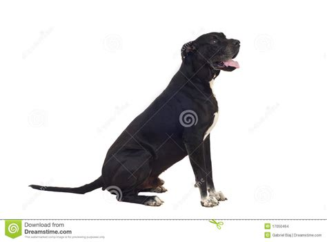 great dane dog profile stock images image