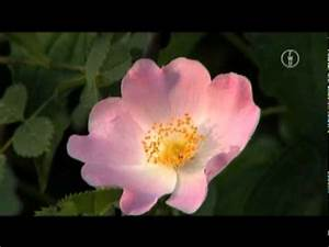 Walnussbaum Selber Pflanzen : die hasel doovi ~ Michelbontemps.com Haus und Dekorationen