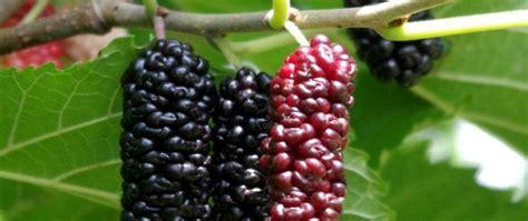 ba82c berries on a tree www pixshark images galleries