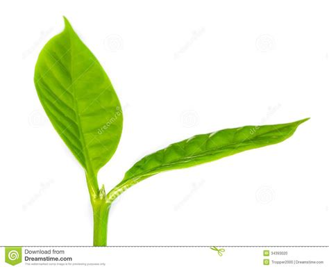 Young Green Sprout. Stock Photo. Image Of Isolated, Fresh Coffee Joke Pictures Kicking Horse Halifax Gif Van Online Instructions Morning To Download Starbucks Peace Love Reusable Cup