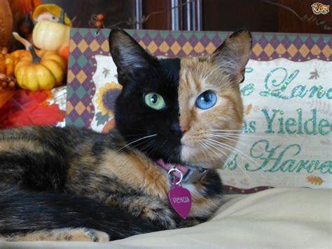cat venus rarest faced called feline planet could why pets4homes
