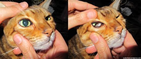 cats third eyelid nature s squeegee the nictitating membrane scatter feed