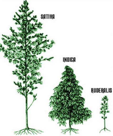 feuilles de cannabis comment obtenir de superbes feuilles