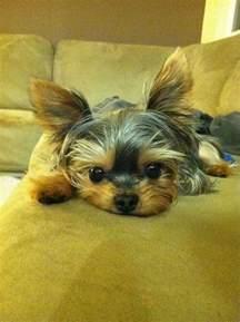 Yorkie Cutest Puppy Ever