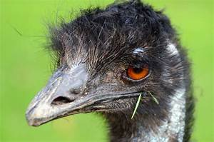 Emu  11 Facts About Australia U0026 39 S National Bird