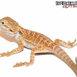 Baby Hypo Bearded Dragon - Underground Reptiles