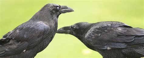 alaska ravens    trickster  alaska natives
