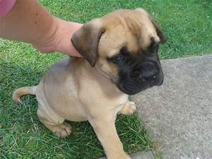bullmastiff puppies for sale 250 posted 1 year ago for ...