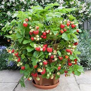 How to Grow Strawberries at Home? | Blog.Nurserylive.com ...