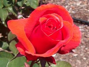 Top 10 Best Fragrant Roses In The World  U2013 Ten Insider
