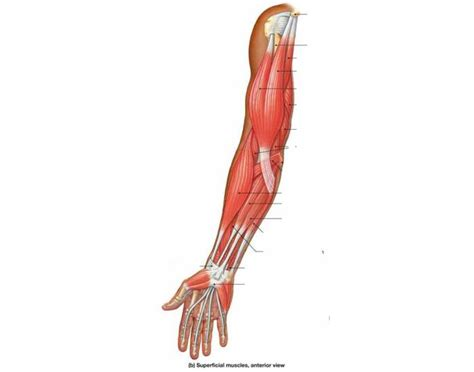 Muscles Of The Anterior Arm