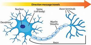 Neuron Diagram  U0026 Types