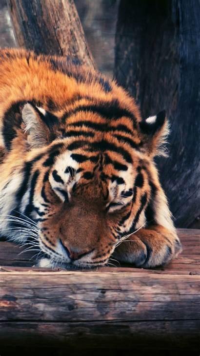 Animals Tiger Funny Wallpapers Animal Savanna Wild