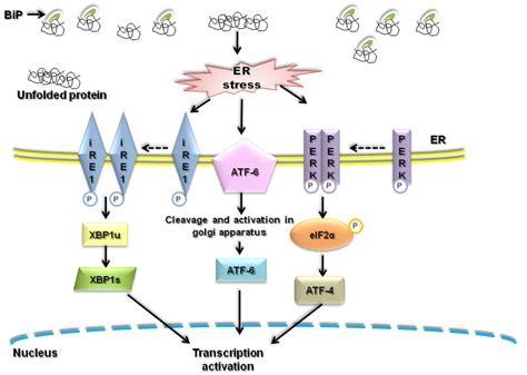 endoplasmatic reticulum er stress  unfolded protein
