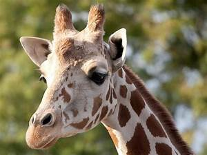 Reticulated Giraffe - Denver Zoo  Giraffe
