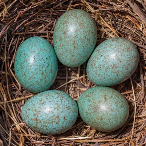 what color are bluebird eggs bird egg identifier gardenbird