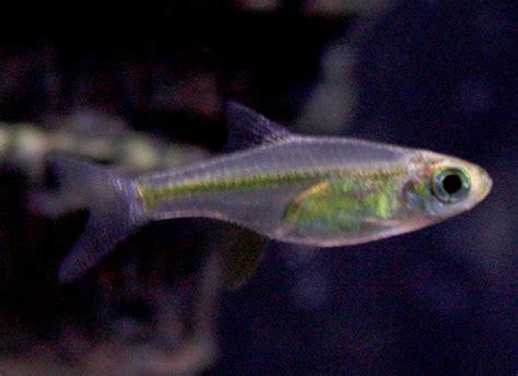 11 freshwater nano fish for your aquarium