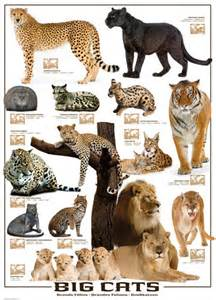 list of big cats big cats jigsaw puzzle puzzlewarehouse