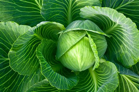 Information On Growing Cabbage Plants In The Garden