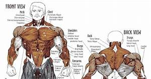 Muscle Workouts  U2013 Staggering Muscle Groups For Maximum