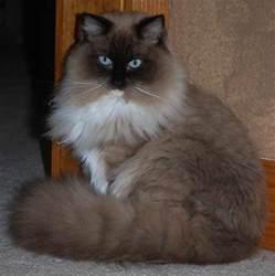 minks cat ragdoll cat breed cats