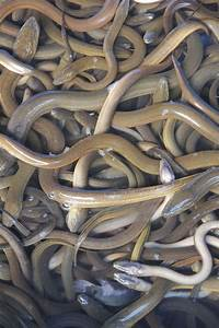 Mysterious, Eels, U0026, 39, Mating, Migration, Tracked