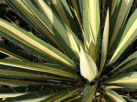 yucca exterieur resistant au gel yucca esp 232 ces et vari 233 t 233 s rustiques