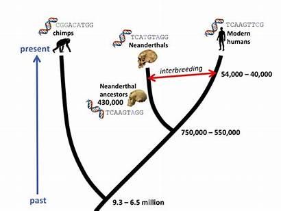 Evolution Human Molecular Timeline Tree Evolutionary Clocks