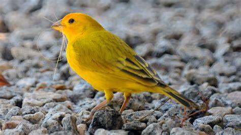 yellow bird name
