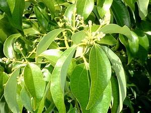 Cinnamon Tree: Pictures, Photos, Facts on the Cinnamon Trees