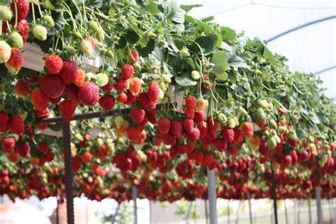erdbeeren im rohr bauanleitung erdbeeren im rohr pflanzen bauanleitung f 252 r ein erdbeerrohr garten erdbeeren garten