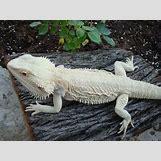 Leucistic Bearded Dragon | 736 x 552 jpeg 100kB