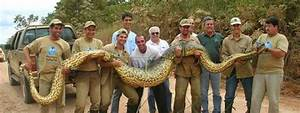 Giant Anacondas Eating Crocodiles and other creatures ...