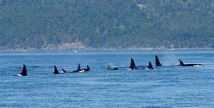 Killer whales live wild and free in the San Juans ...
