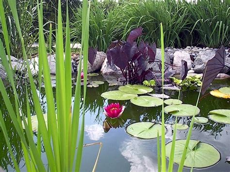 black decorative pillows aquatic plants in the garden pond these are your