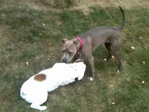 American Pit bull terrier FIGHTS English Bull Dog Fight ...