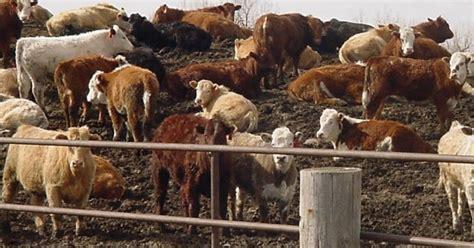 mud  lameness  beef cattle