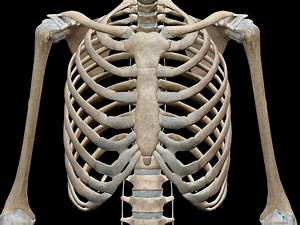 3d Skeletal System  7 Interesting Facts About The Thoracic