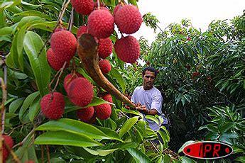 chambre agriculture 83 l ananas label perce en métropole