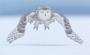 Snowy Owls With Blue Eyes Flying