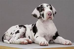 Harlequin Great Dane Pup - Pixdaus