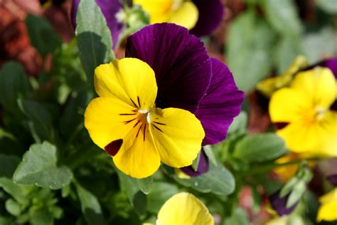viola flower file viola tricolor pansy flower close up jpg wikimedia commons