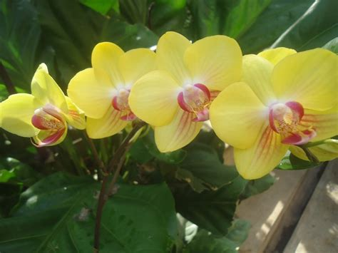 manfaat pupuk organik cair  bunga anggrek  tanaman