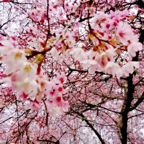 cherry blossom  tumblr