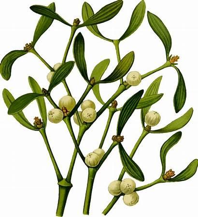Mistletoe Plant Vector Christmas Branch Svg Clipart