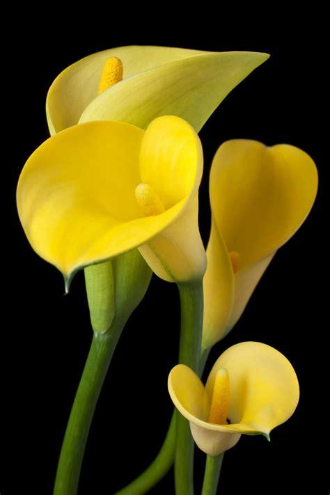 calla lilies summer flower calla lilies