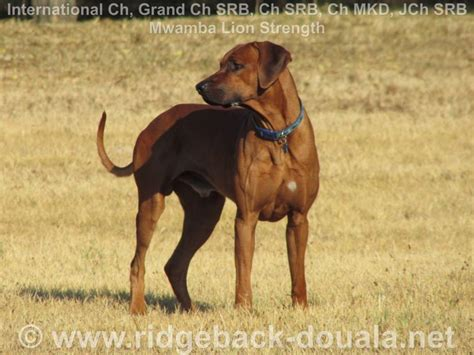 Rhodesian ridgeback dostupan za parenje