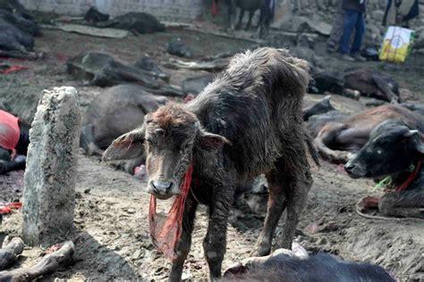 stop  worlds largest animal sacrifice campaigners