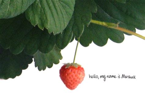 marshall strawberry plants limited edition marshall strawberries are edible art